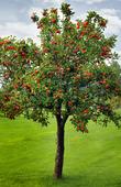 Äpplelträd