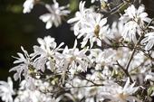 Japansk magnolia