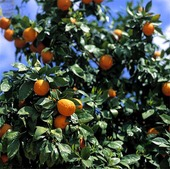 Apelsinträd