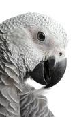 Papegoja, Grå jako