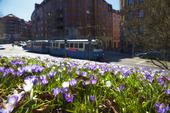 Vårblommor i Göteborg