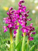 Göknycklar, orkidé