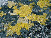 Kartlav på sten