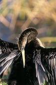 Ormhalsfågel