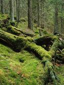 Mossa i skog