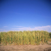 Gräs på sandstrand