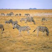 Zebror i Etocha, Namibia