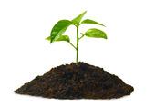 Växt i jordhög