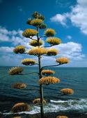 Växt på Sardinien, Italien