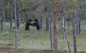 Två brunbjörnar