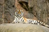 Tiger vilar på en klippa