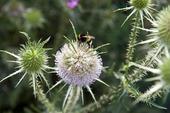 Dipsacus feroxVäddväxter