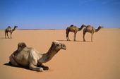 Kameler i öknen