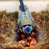 Blåmes matar fågelungar