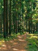 Skogsstig i granskog