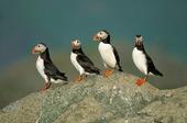 Lunnefåglar