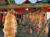 Långa på tork i Mollösund, Bohuslän