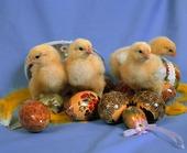 Kycklingar och påskägg