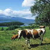 Kor vid Kallsjön, Jämtland