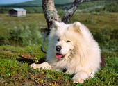 Samojedhund i Jämtlandsfjällen