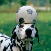 Dalmatiner med boll på huvudet