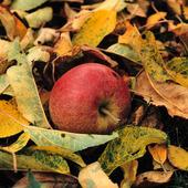 Äpple i höstlöv