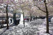 Japansk körsbärsträd i Kungsträdgården, Stockholm