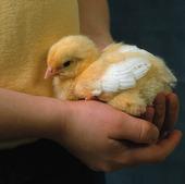 Kyckling i barnhand