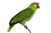 Amazon papegoja