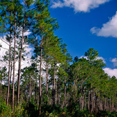 Pinjeträd i Everglades Nationalpark, USA