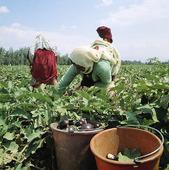 Odling av auberginer, Israel