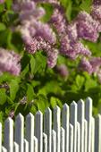 Syrenbuskar vid staket