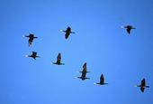 Fågelsträck