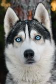 Polarhund