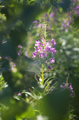 Fireweed in backlit