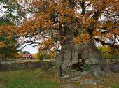 Kvilleken är 900 år gammal, Småland
