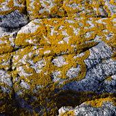 Lav på klippa, Bohuslän