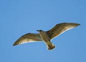 Flygande gråtrut