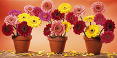 Tre blomkrukor med Gerbera