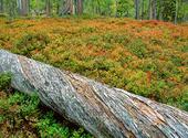 Liggande trädstam i skog