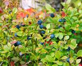 Blåbärsbuske