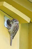 Pilfink med mat till fågelunge