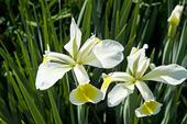 Gullbandsiris, iris orientalis