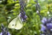 Lavendel och kålfjäril