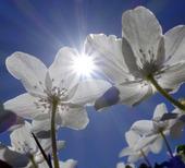 Vitsippor  (anemone nemorosa)