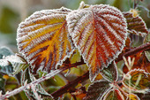 Frost på björnbärsblad