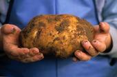 Stor potatis