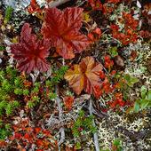 Hjortronblad mm, Lappland