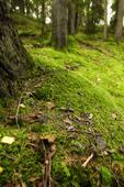 Mossa i barrskog