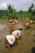 Risfält i Indonesien